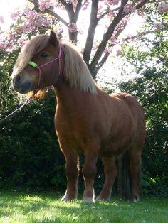 Shetland Pony gelding. He's just too cute! #shetlandpony #shetland #pony #ropehalter #gelding