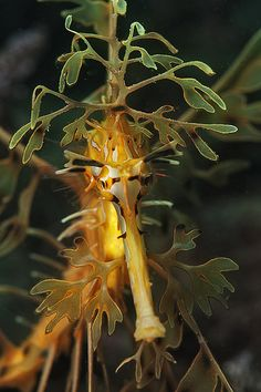 Leafy Sea Dragon by Rowland Cain, via Flickr