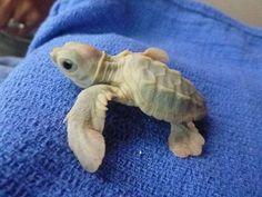 Baby albino turtle.