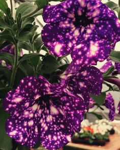 Want to gaze at distant galaxies but don't have a strong enough telescope? Then don't worry, because we've got the perfect solution. All you need to do is to buy yourself some Night Sky Petunias, because as you can see, their petals look like they're hiding secret little universes inside of them.