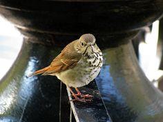 #sparrow #sparrows #bird #birds #wildlife #park #fountain #madisonsquarepark #newyork #hosp #hosps #staring #stare #attitude