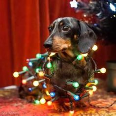 Christmas doxie
