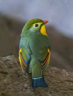 Red billed Leiothrix.