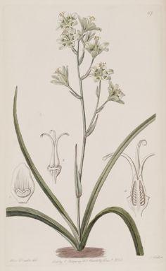 The Botanical Register // Illustration // Art // Botany // Plant // Flora // Flower