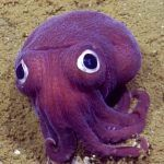 A Purple Cuttlefish with Comically Giant Googly Eyes Spotted on the Ocean Floor