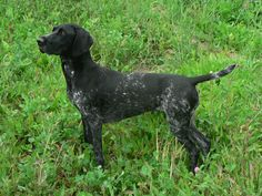 The German Shorthaired Pointer is a hunting breed that was developed in the 19th century.