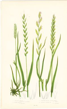 Crested Wheat Antique Botanical Print by BrocantePrints on Etsy