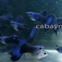 13 Hình ảnh Ca Bay Mau Guppy đẹp Nhất Trong 2019 Cá Bảy