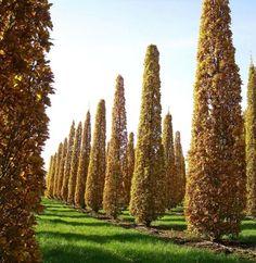 Kertmanufaktúra: oszlopos fák