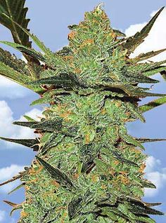 G Force Feminised Cannabis Seeds