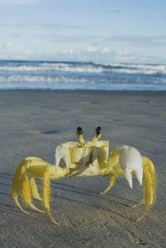 Crustacea (Crustáceo, Crustacean) - Classe Malacostraca, Subclasse Eumalacostraca (Ordem: Decapoda, Ocypode quadrata)