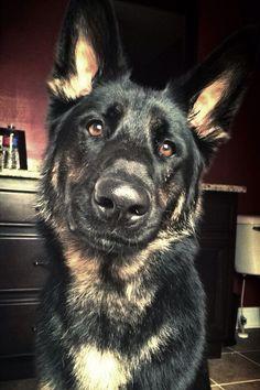 Captain Von Schmidt Intrigued German Shepherd