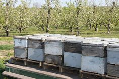 Bees pollinating the apple orchard