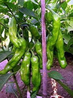 Shishito Sweet Wrinkled Old Man Pepper 10 Seeds - Mild Fresh Fruits And Vegetables, Organic Vegetables, Fruit And Veg, Gardening Vegetables, Chile Picante, House Plant Delivery, House Plants For Sale, Sweet Bell Peppers, Shisito Peppers