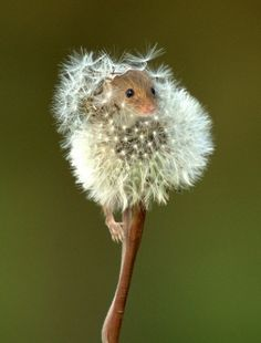 Adorable mouse peeping through dandelion fluff!!