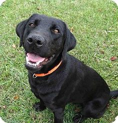 Cyrus is a Labrador Retriever available for adoption in Coventry, RI: http://www.adoptapet.com/pet/8575086-coventry-rhode-island-labrador-retriever-mix