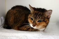 DOVE A1091419 My heart just aches for this loving tortie lady. At 17 years old, in the twilight of her life, all she wants is to love and be loved, and she has so much love to give. Settled in her kennel, she looks like she is fast asleep, but at the slightest touch, she comes alive and stands and rubs and purrs like there is no tomorrow. It's a truly a special person who will come and be Dove's angel, and you will get so much more in return. There aren't many that are as sweet and loving as…