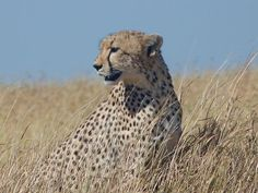 Cheetah scanning the plains of Serengeti National Park, Tanzania