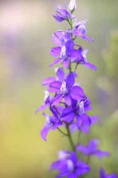 Larkspurs are pretty annual flowers that you can plant in the fall—the seeds survive freezing temperatures. Summer Flowers, Small Flowers, Purple Flowers, Delphinium Flowers, Backyard Pergola, Pergola Shade, Pergola Ideas, Cheap Pergola, Outdoor Ideas