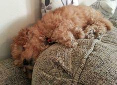 Winnie the Poodle