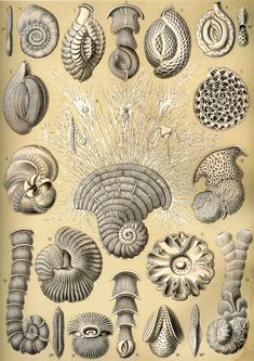 Ernst Haeckel Talamophora Illustration from Art Forms In Nature, Sea Snails Educational Chart, Plate Ernst Haeckel Art, Art Et Nature, Natural Form Art, Nature Illustration, Antique Illustration, Seashell Art, Art Plastique, Oeuvre D'art, Artwork Prints