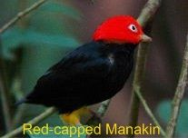 red-capped manakin bird= moonwalking bird   http://www.youtube.com/watch?v=T2Bsu4z9Y3k=player_embedded#!