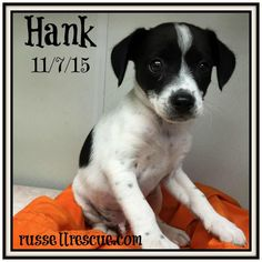 Hank In Bryan, Texas is an adoptable Jack Russell Terrier searching for a forever family near Austin, TX. Use Petfinder to find adoptable pets in your area.