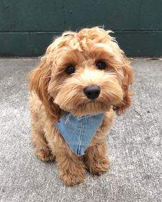 Nothing messes up your Friday, like realising it's only Thursday. Cavapoo Puppies, Maltipoo, Labradoodle, Goldendoodle Grooming, Baby Animals Pictures, Funny Animals, Look Legging, Cool Dog Houses, Best Dog Toys