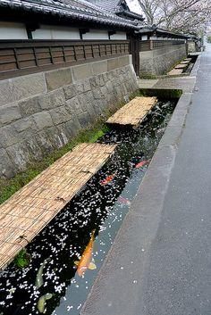 Carp fish swimming in roadside open culverts, Obi, Japan