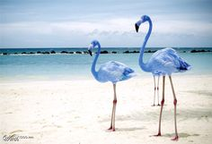"""South American Blue Flamingo Blue flamingos (Aenean phoenicopteri) have been found in the Isla Pinzon archipelago, (in the Galapagos Islands) on January 23rd, 2012.  """"Flamingo Blue"""" by Errorquetzal Source: worth1000.com"""