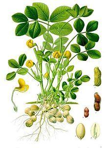 Arachis hypogaea - Köhler–s Medizinal-Pflanzen-163.jpg