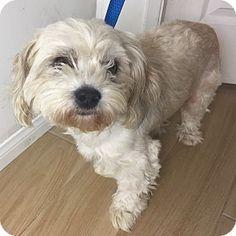 Redondo Beach, CA - Havanese Mix. Meet Anderson, a dog for adoption. http://www.adoptapet.com/pet/17405470-redondo-beach-california-havanese-mix
