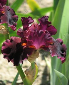 Mom has irises this color...hoping to get some next year!!