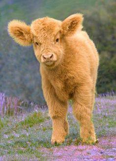 Highland calf-so adorable
