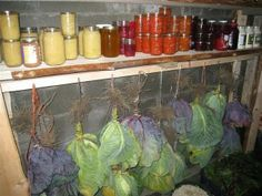 Hanging Cabbages For Storage » The Homestead Survival