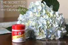 El alumbre ayudará a que tus hortensias permanezcan llenas de vida. | 30 trucos de jardinería extremadamente ingeniosos