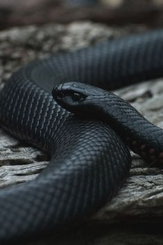 Image via We Heart It #animals #beautiful #black #dangerous #dark #minimalistic #nature #snake