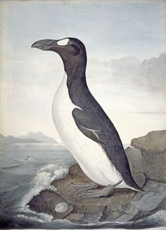 Great auk, Pinguinus impennis   extinct