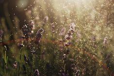 lavender#flower#jpg#instant download#dew