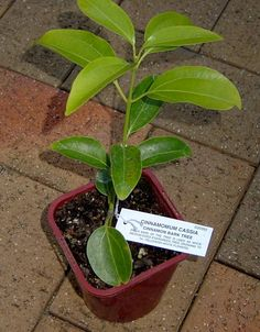 young cinnamon tree  - growin' 'n propagatin' tips to grow indoors in a container