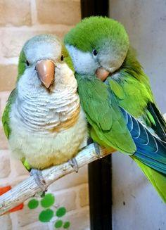 Training Your Pet Parrot Most Beautiful Birds, Animals Beautiful, Nature Animals, Animals And Pets, Monk Parakeet, Gato Animal, Parrot Pet, Kinds Of Birds, Wild Creatures