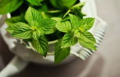 Peppermint essential oil is one of the world's oldest oils used for medicinal purposes. The documentation of its uses goes back to Roman times. Peppermint was mainly used for relieving stomach ac Plants That Repel Spiders, Cat Plants, Home Remedies, Natural Remedies, Health Remedies, Peppermint Plants, Peppermint Oil, Troubles Digestifs, Weight Loss Tea