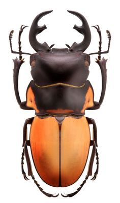 Odontolabis brookeanus