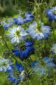 blue Nigella, also called Love-In-A-Mist  Lovely shades of blue with lacy, fern like leaves and stems. It develops a lantern-shaped seed pod that is used I dried arrangements or simply to reseed this coveted annual. I first saw these at Longwood Gardens(10 yrs. ago) where I saved a few seeds to plant in my garden!