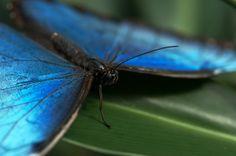 Blue Morpho | Flickr
