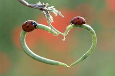 Mother nature provides a romantic heart shaped perch for these two Lady bugs - Cutest Paw Heart In Nature, Heart Art, Images Lindas, Impression Poster, I Love Heart, Lady Bug, Love Bugs, Love Symbols, Amazing Nature