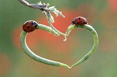 Nature heart. Ladybugs