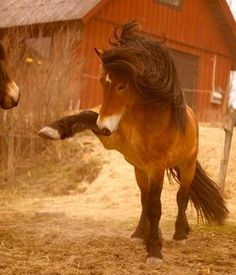 Nordsvensk horse