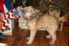 Lucy, sweet puppy, so smart...you knew it was Christmas and enjoyed your presents so much!!