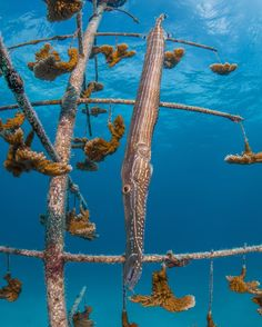 Trumpetfish blend in by mimicking the look of our coral trees!